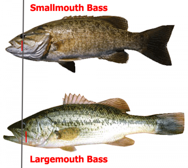 a comparison of many similarities and differences between bass fishing and crappie fishing Technically, a sunfish is any species in the freshwater fish family centrarchidae ( sin-tr-ark-i-day) these include black basses, rock basses, crappies, banded  sunfishes  name that encompasses several of the larger lepomis sunfishes   of the temperate bass family moronidae (mo-ron-i-day) that includes.