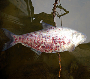 The Michigan DNR has confirmed the Lake St. Clair fish kill event is the result of viral hemorrhagic septicemia virus (VHSv). Fish affected by VHSv often show bloody patches, like those shown here on this gizzard shad.